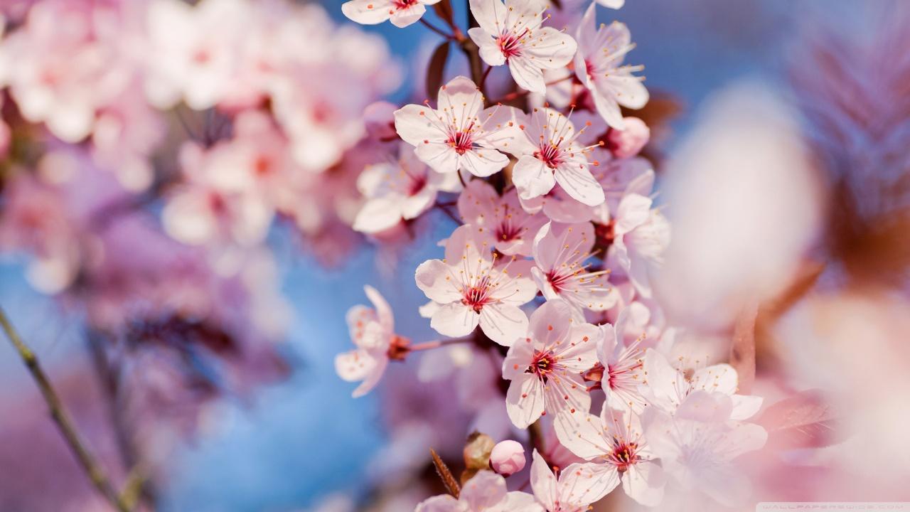 Sakura Japan Wallpaper HD