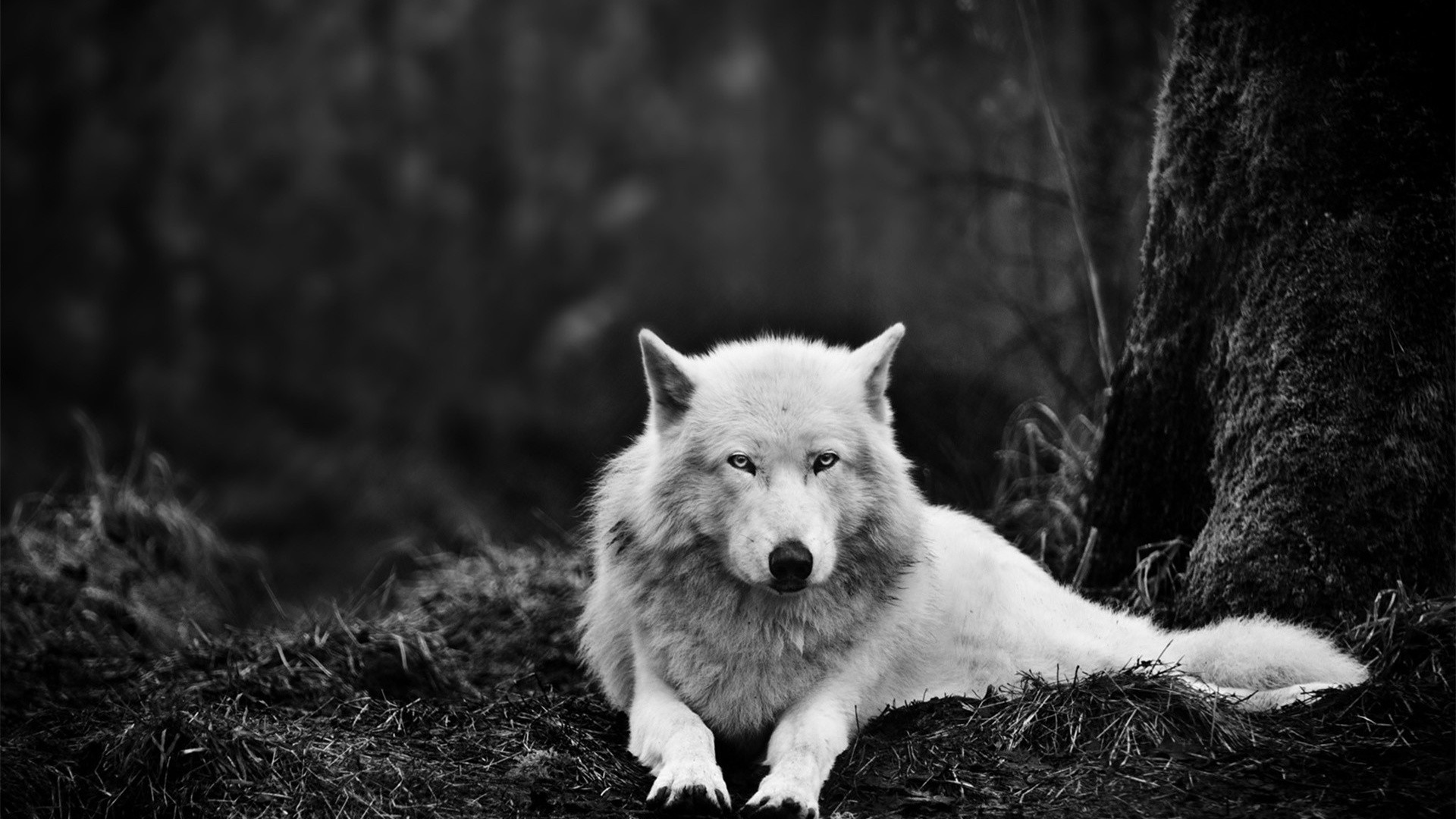 Wolf White Wallpaper HD