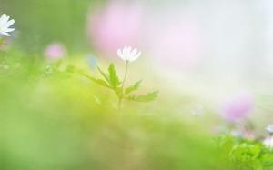 Focus Soft Wallpaper HD Flowers
