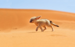 Fox Baby In Desert Animals Wallpaper