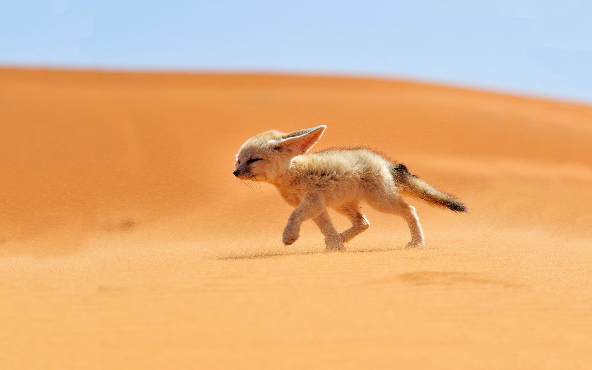 Fox Baby In Desert Animals Wallpaper