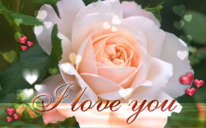 Love Rose White Wallpapers