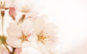Soft Focus Wallpaper Flowers