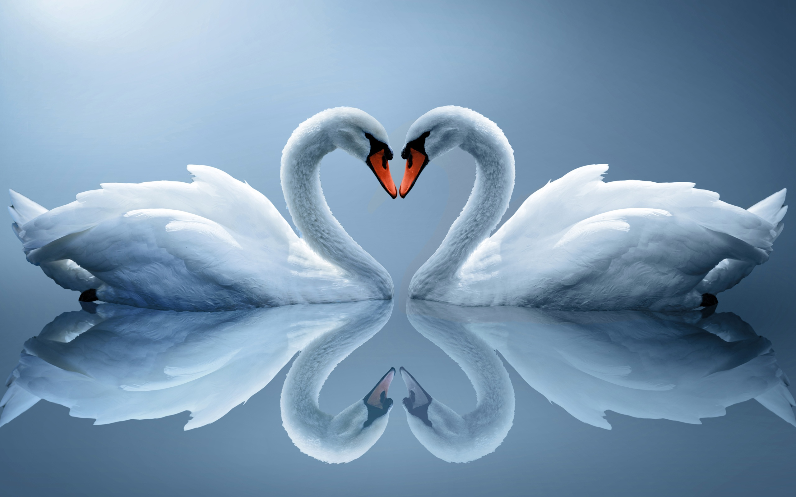 Swan Animals Love Wallpapers