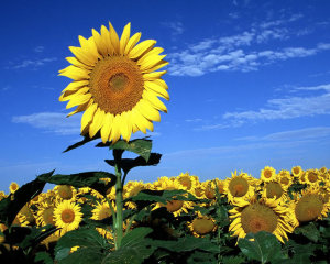 Amazing Yellow Flowers Sun Wallpaper