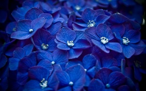 Blue Flowers Photos Wallpaper