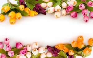 Flowers Tulip Wallpaper HD