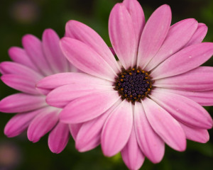 Pink Flowers Wallpaper Awesome Amazing