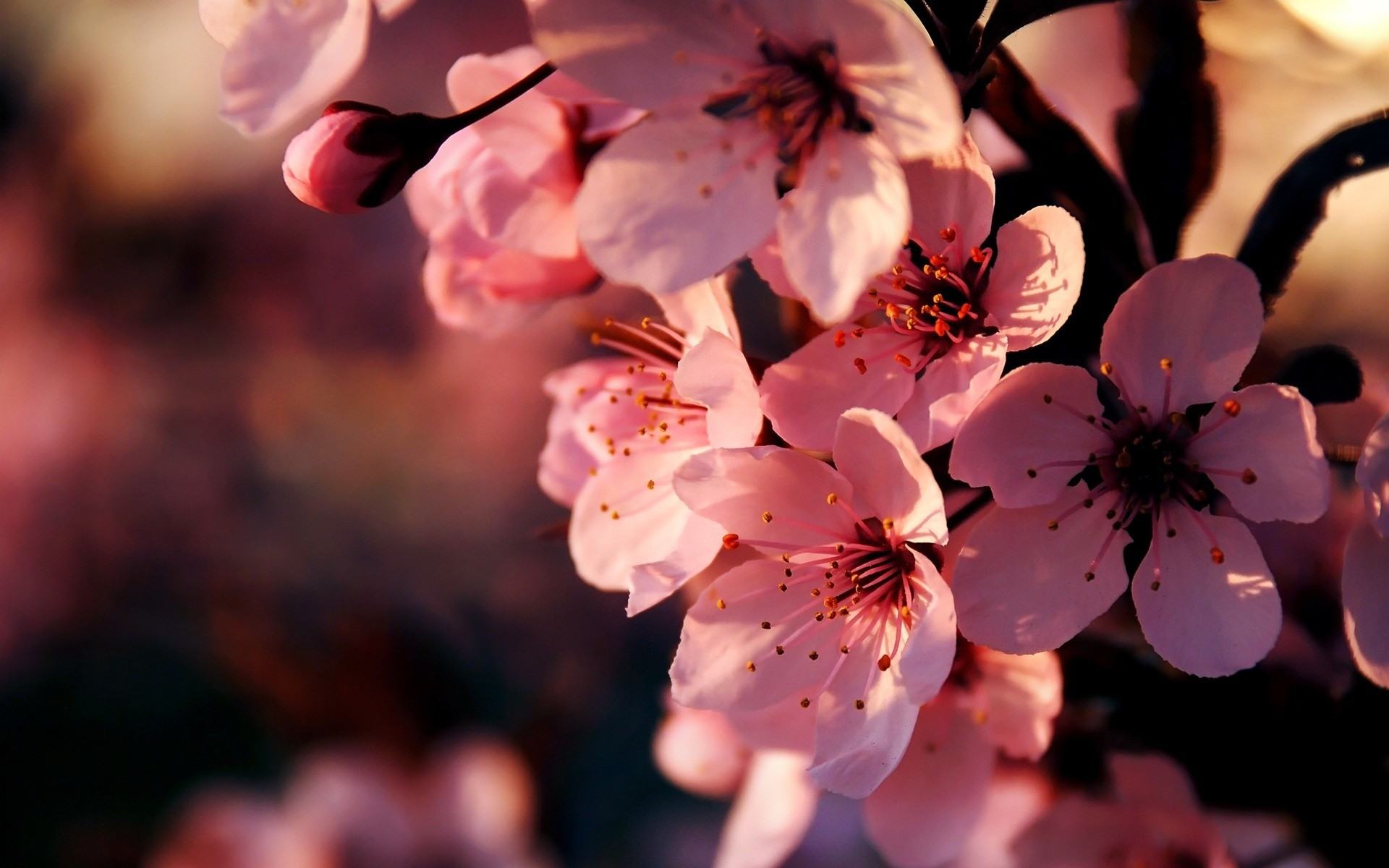 Pink Flowers Wallpaper Backgrounds
