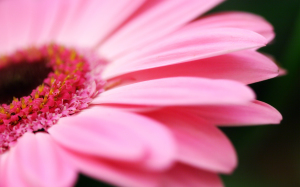 Pink Flowers Wallpaper Fullscreen HD