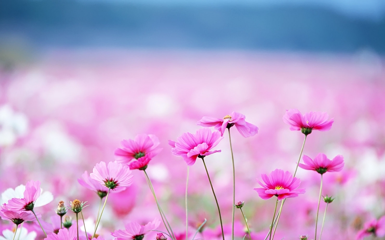 Pink Flowers Wallpaper High Definition