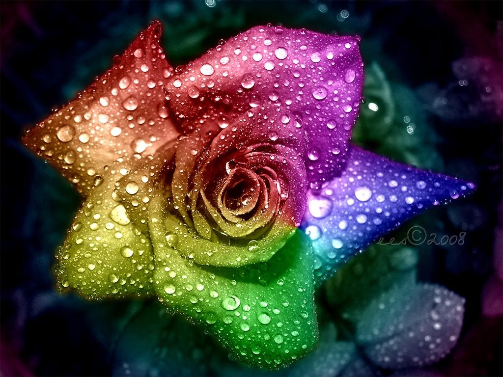 Rainbow Rose Wallpaper HD Desktop