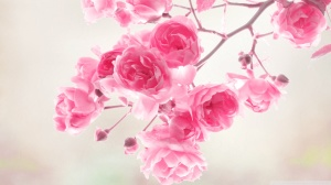 Roses Pink Wallpaper Flowers