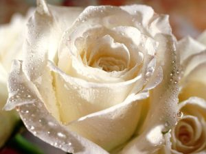 White Flowers Rose Wallpaper