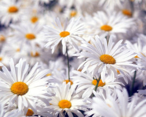 White Flowers Wallpaper Fullscreen HD