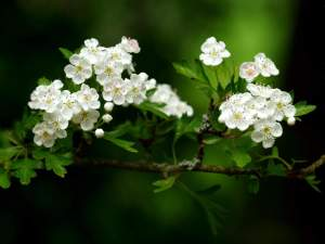 White Flowers Wallpaper High Resolution