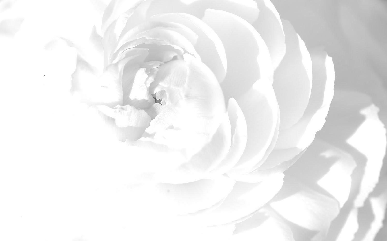 White flowers wallpaper photography hd 4776 wallpaper walldiskpaper white flowers wallpaper photography hd mightylinksfo