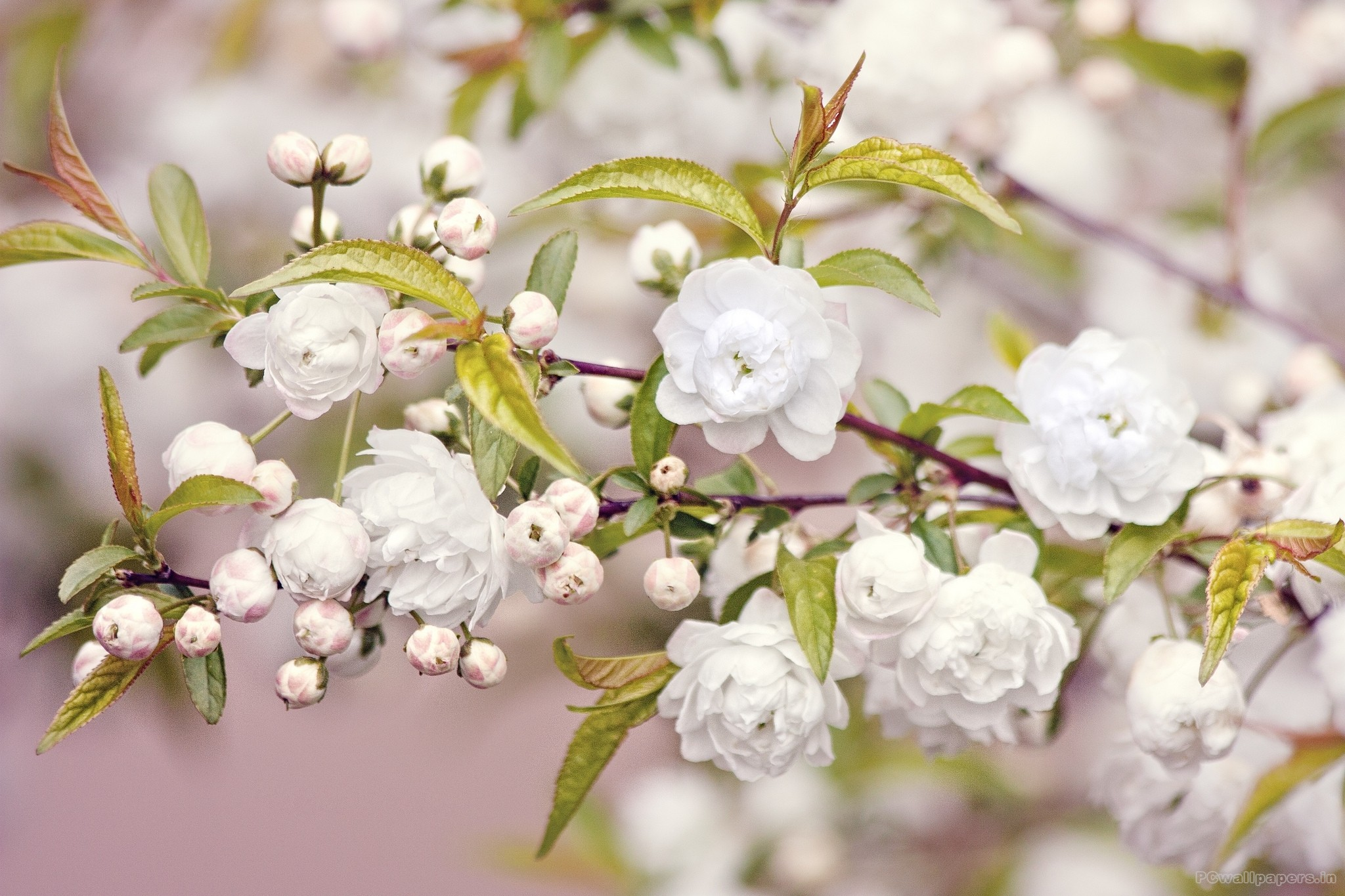 White Flowers Wallpaper Windows Themes Cute