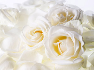 White Roses Wallpaper hd