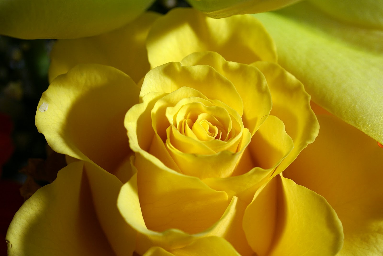 Yellow Flowers Wallpaper High Definition