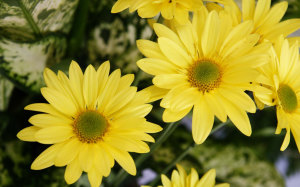 Yellow Flowers Wallpaper High Resolution