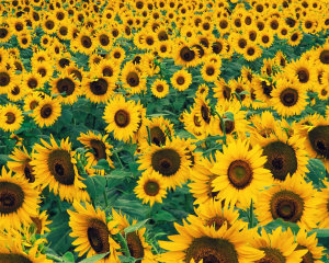 Yellow Sunflowers Wallpapers HD