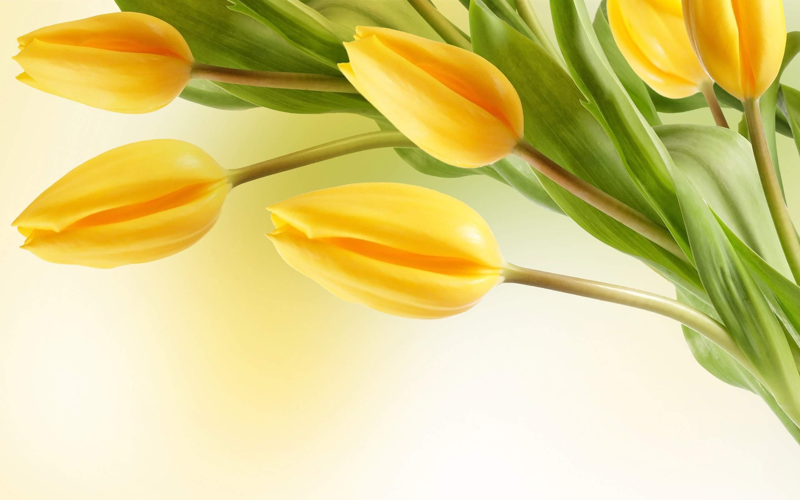 Yellow Tulip Flowers Wallpaper Full HD