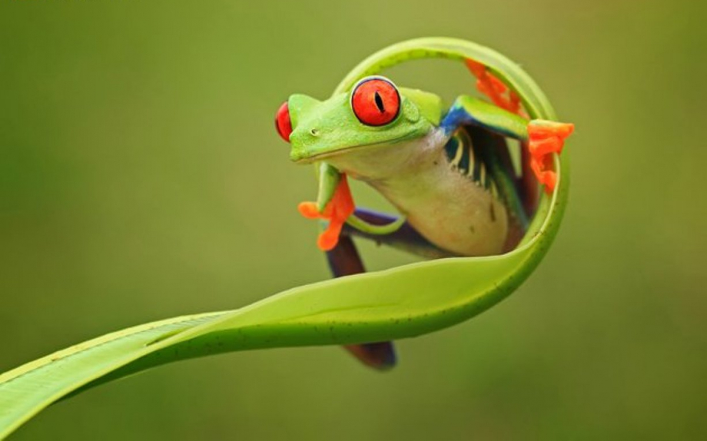 Frog Animals Wallpaper Laptops
