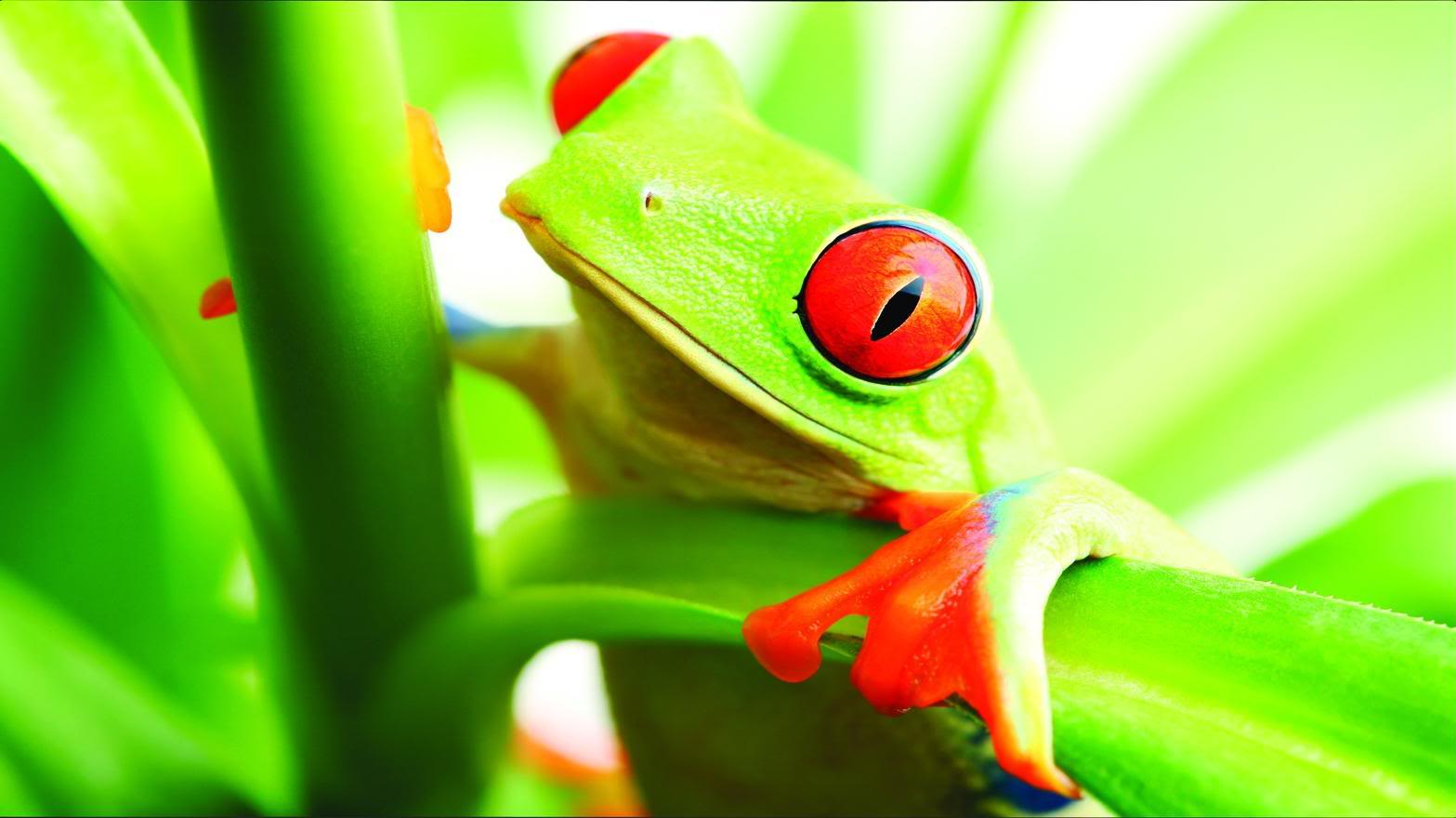 Frog Wallpaper Free HD