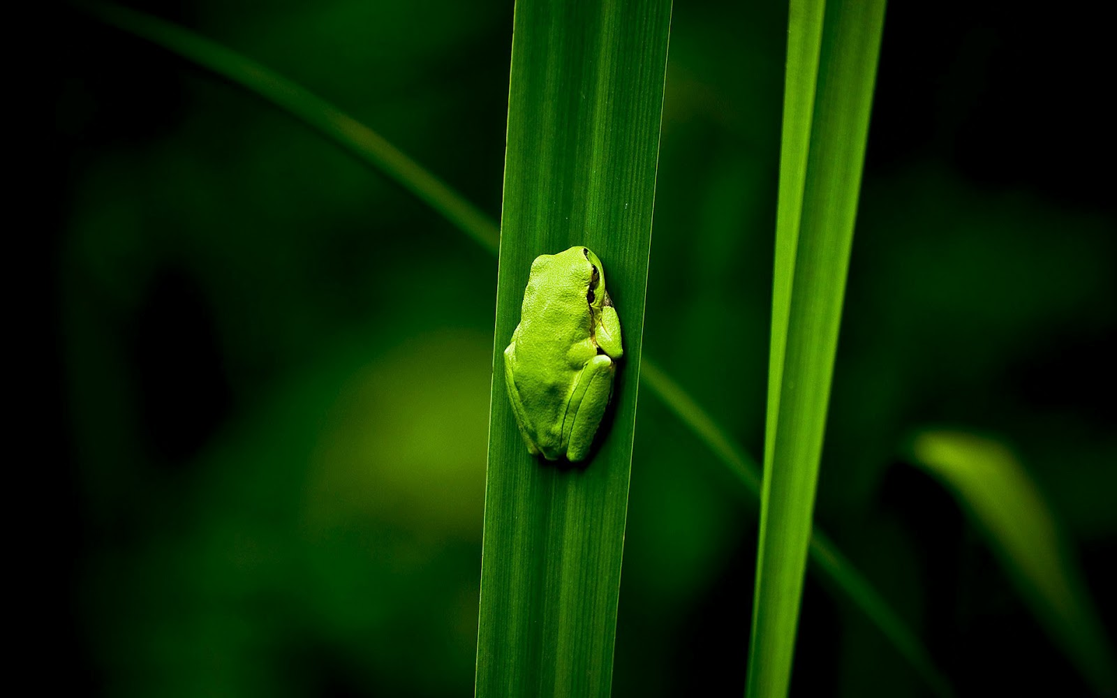 Green Frog Sleep Wallpaper
