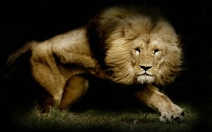 Lion Wallpaper High Cute Animals