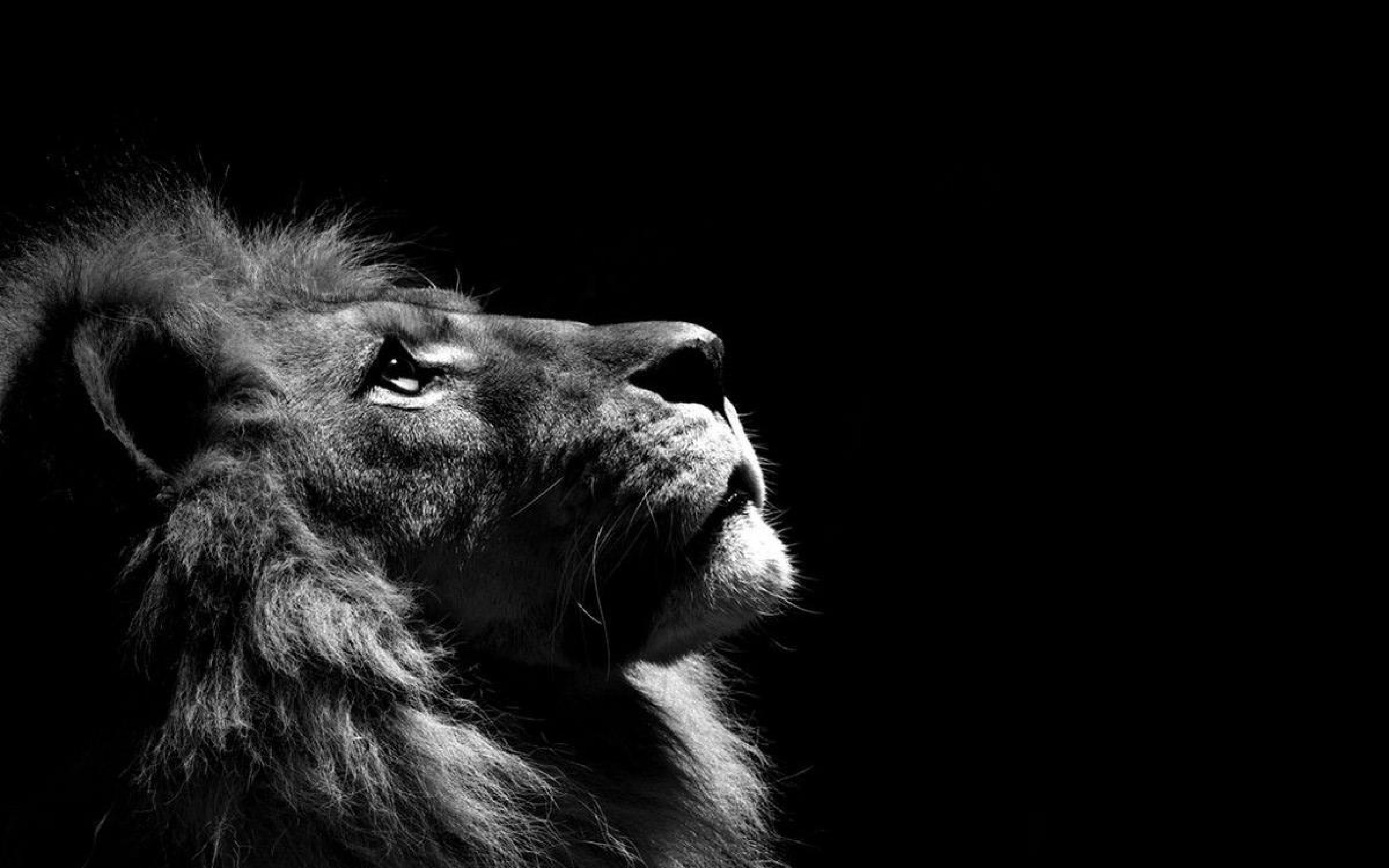 Lion Wallpaper High Quality PC