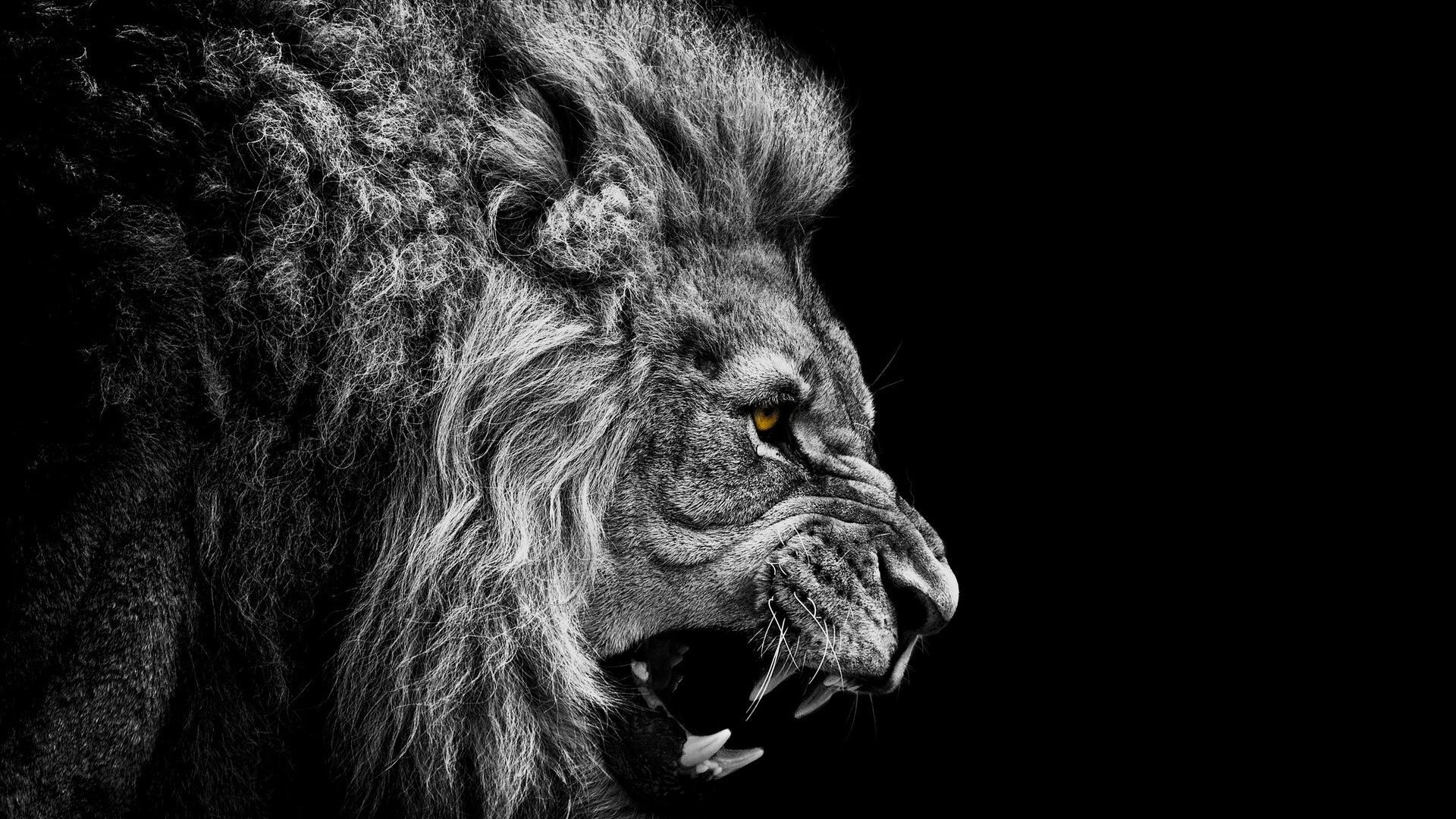 Lion Wallpaper Iphone HD