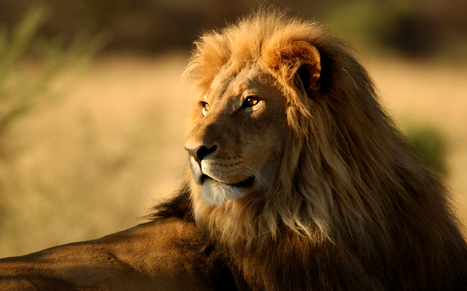 Lion Wallpaper Widescreen HD