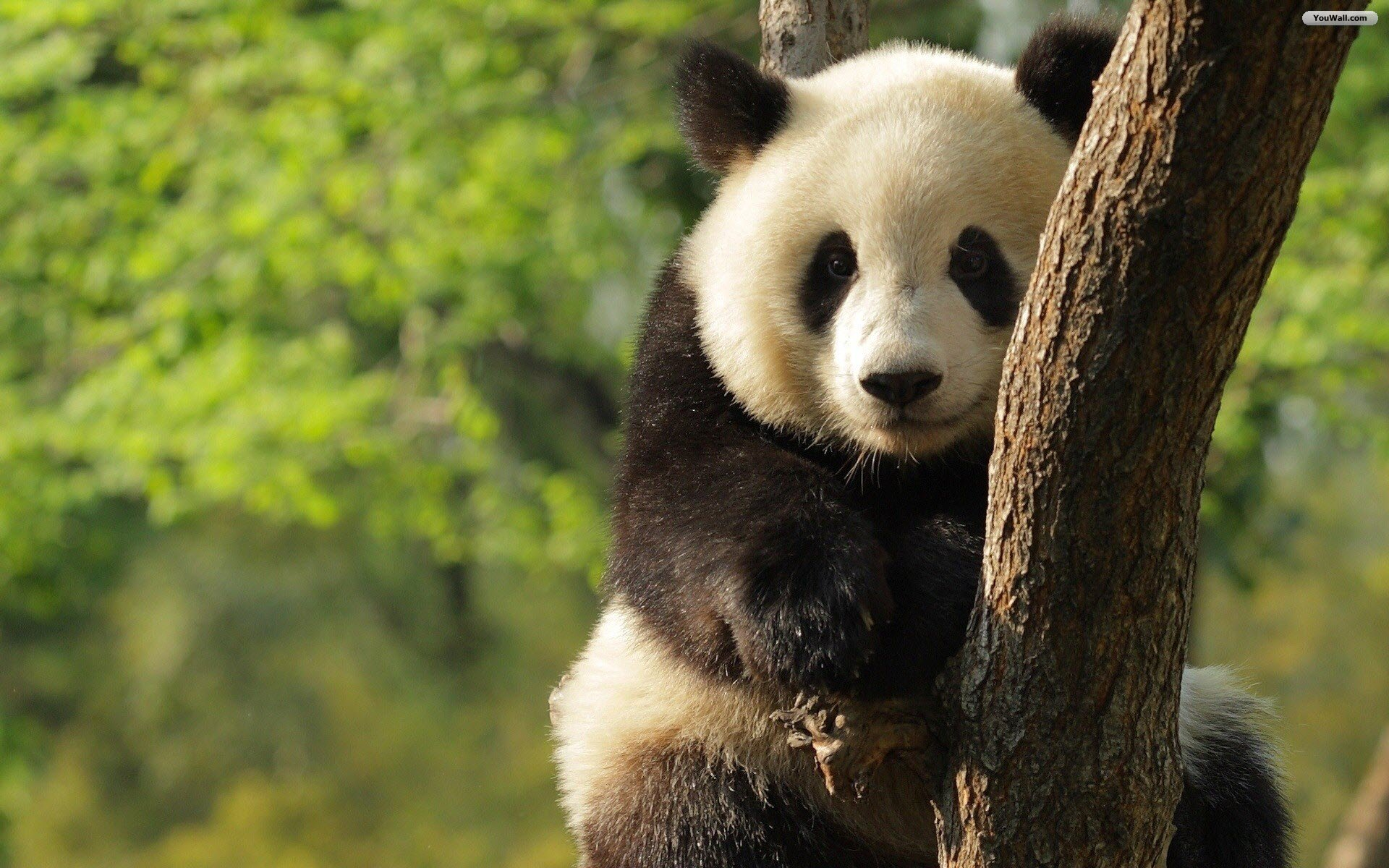 Lovely Panda Wallpaper Widescreen