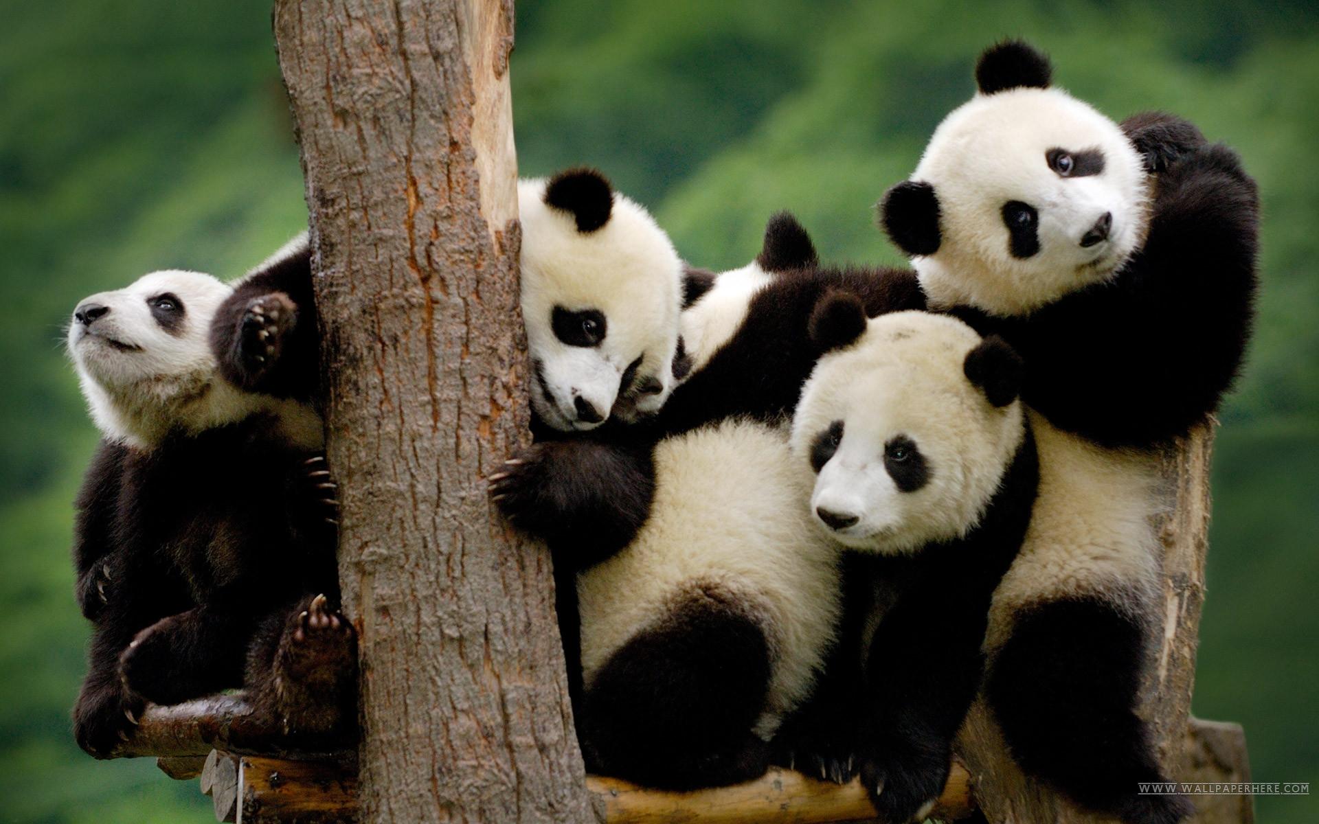 Panda Wallpaper HD Computer