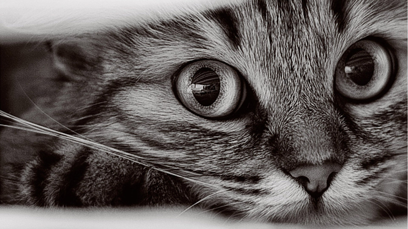 1366x768 Cat Wallpapers #10543 Wallpaper | WallDiskPaper