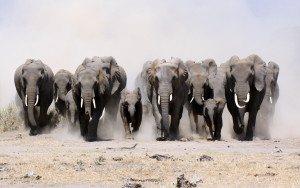 All Elephant Running Wallpapers