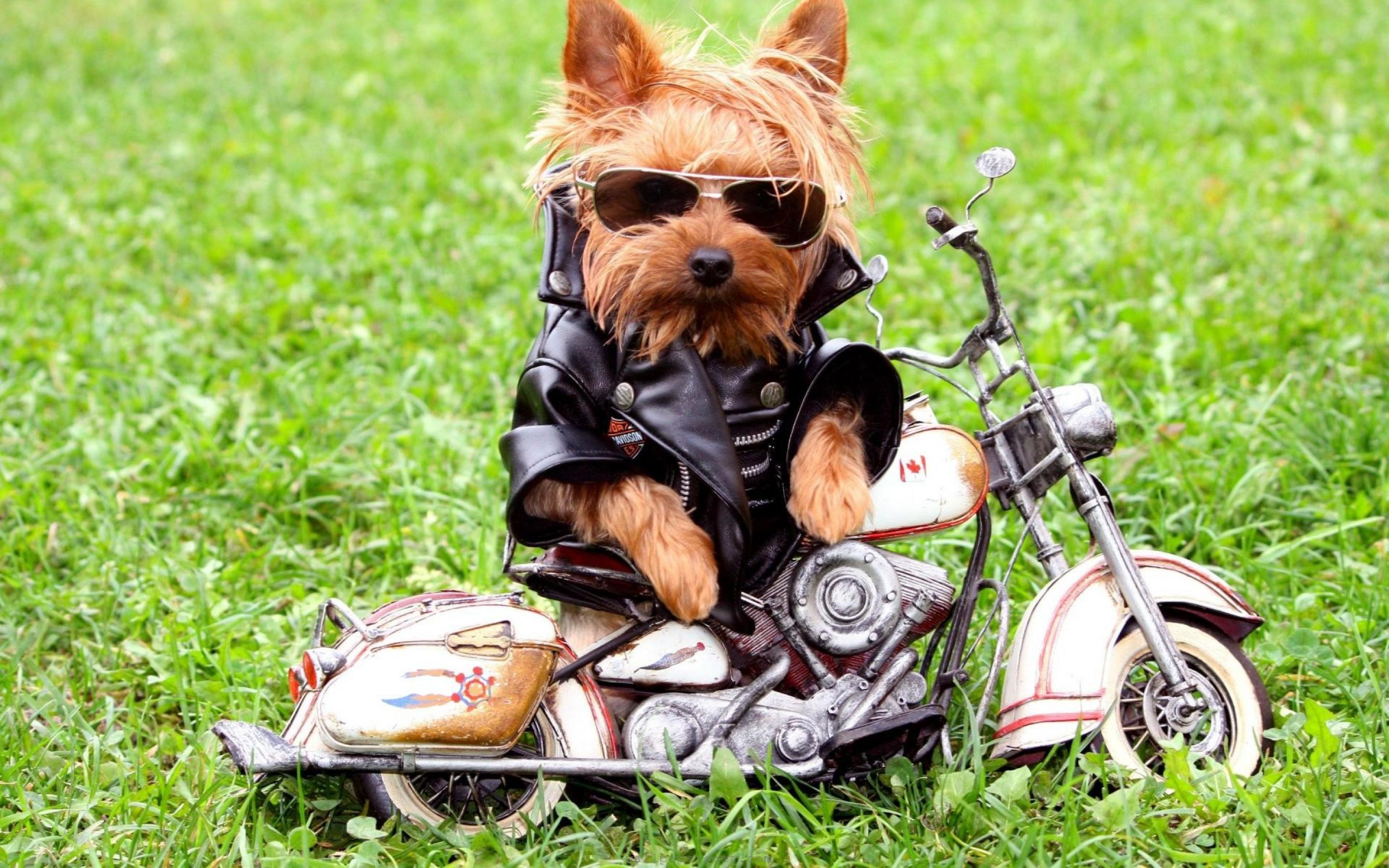 Biker Dog Wallpaper PC Computer