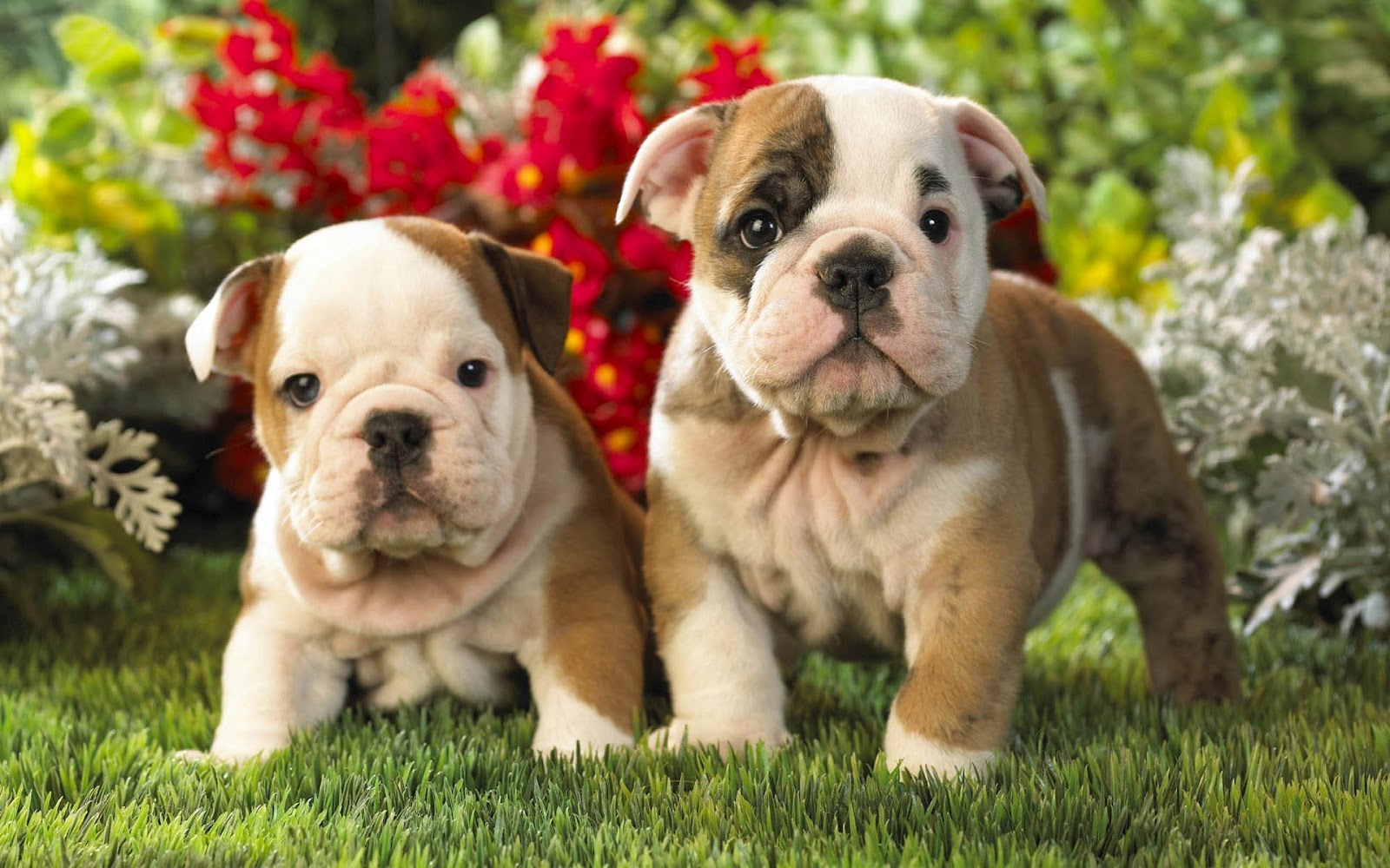 Bulldog Puppies Wallpaper HD