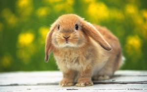 Bunnies Rabbit Wallpaper High Res