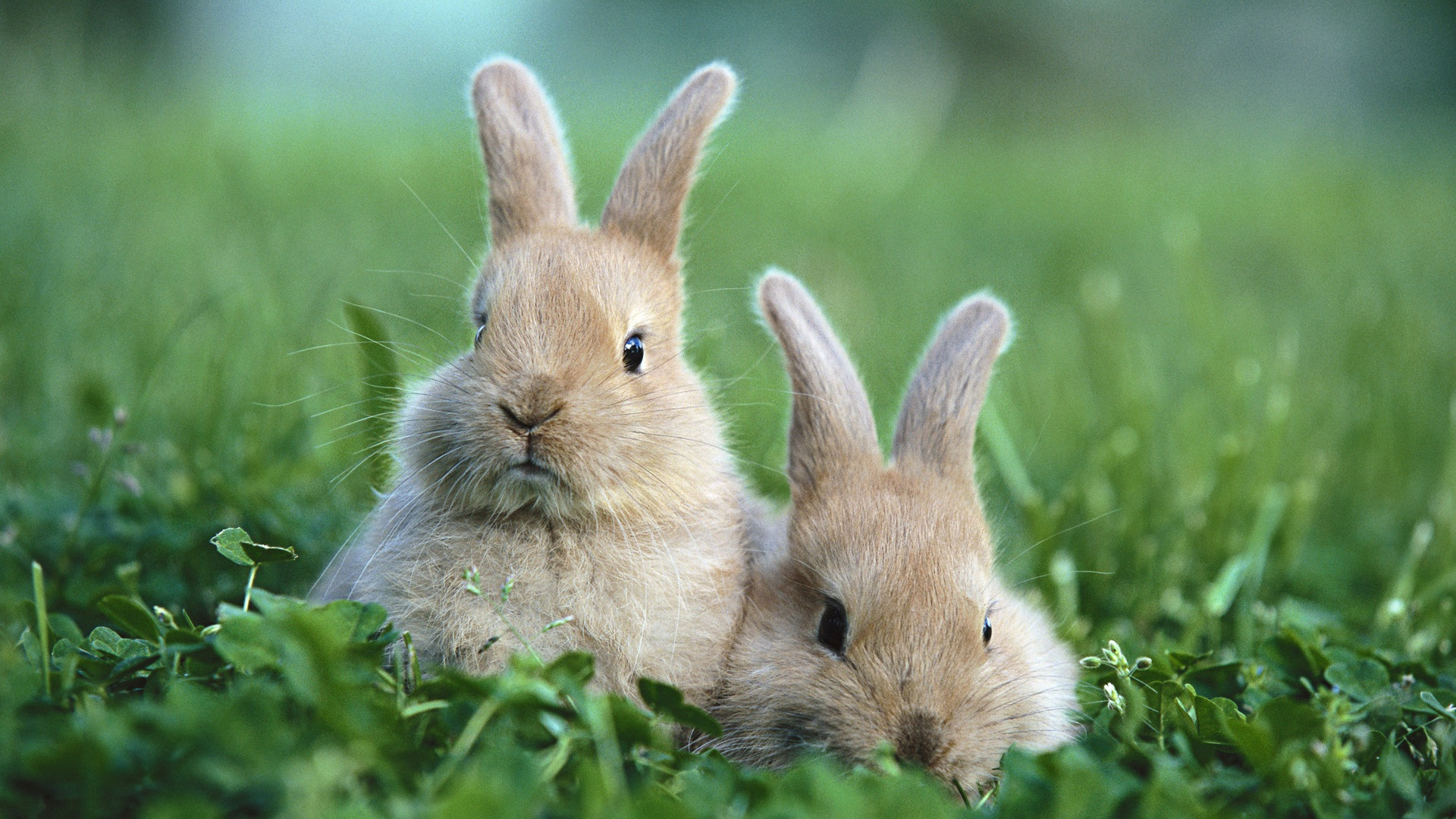Bunnies Wallpaper Widescreen HD