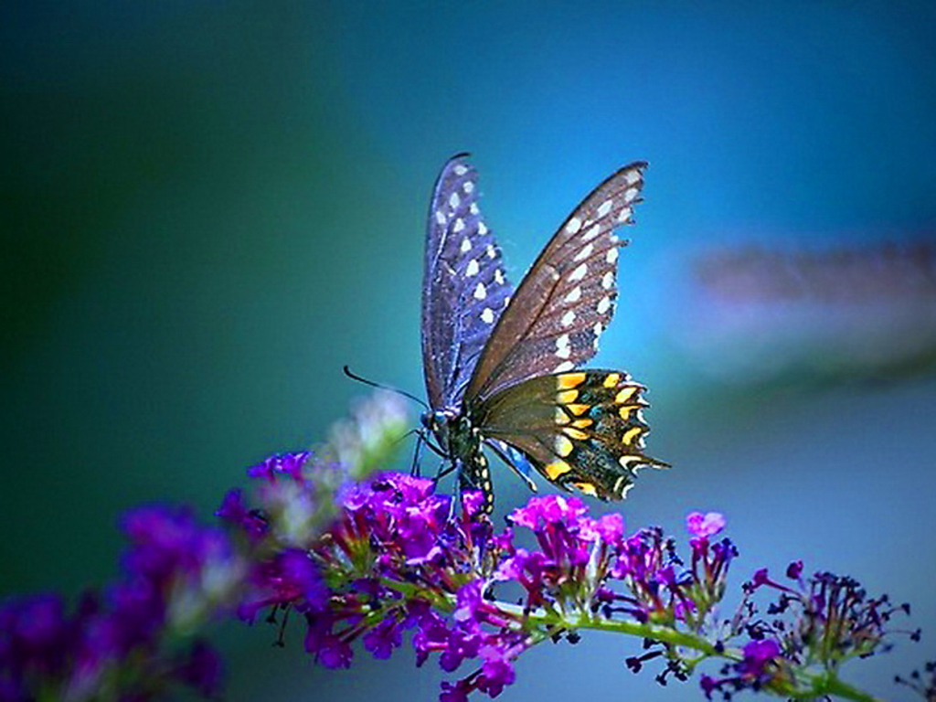Butterfly Purple Wallpapers