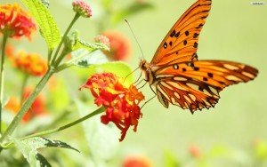Butterfly Wallpaper Blackberry