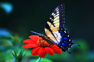 Butterfly Wallpaper Windows Download