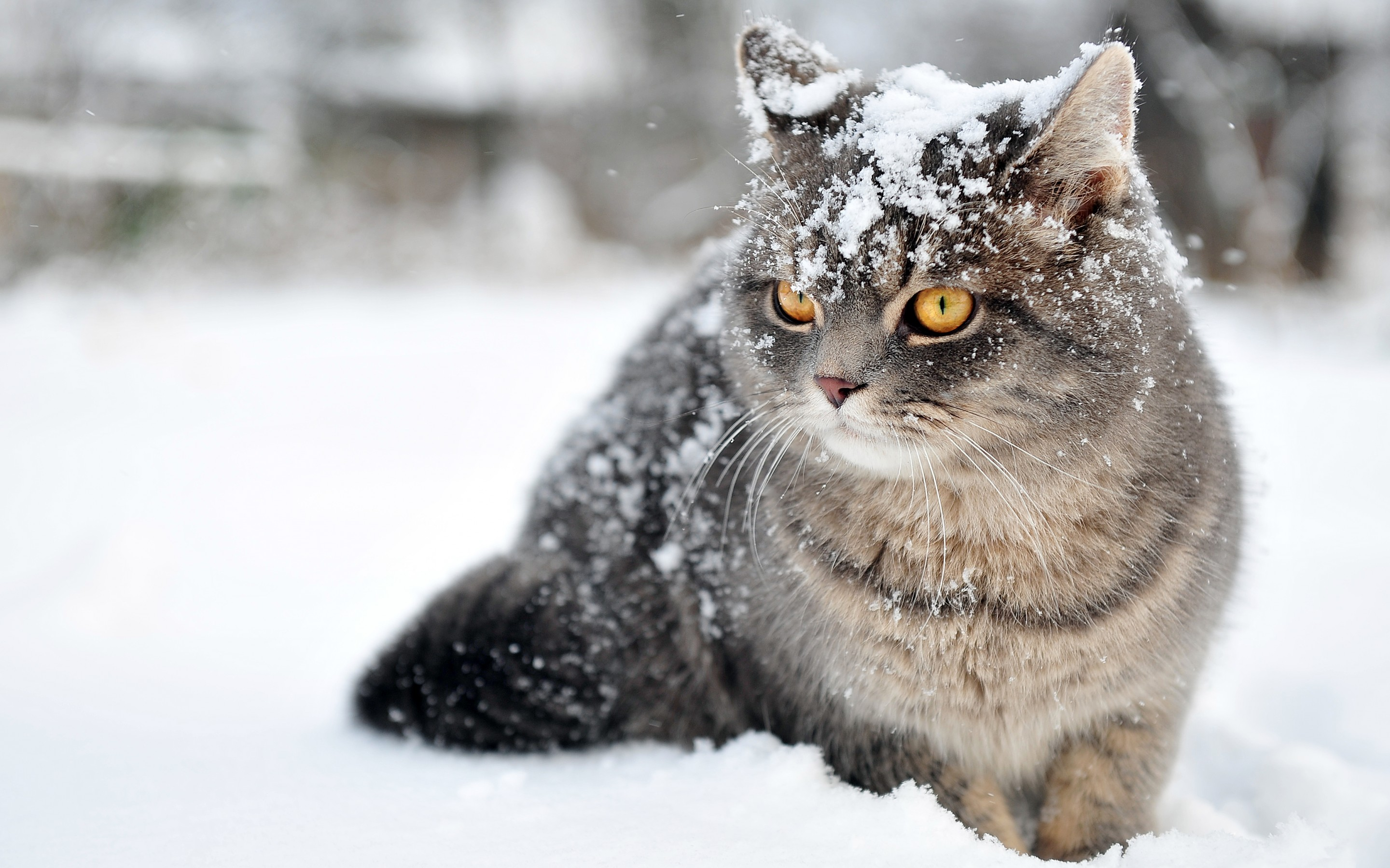 Cat Wallpaper Snow Face 10573 Wallpaper WallDiskPaper