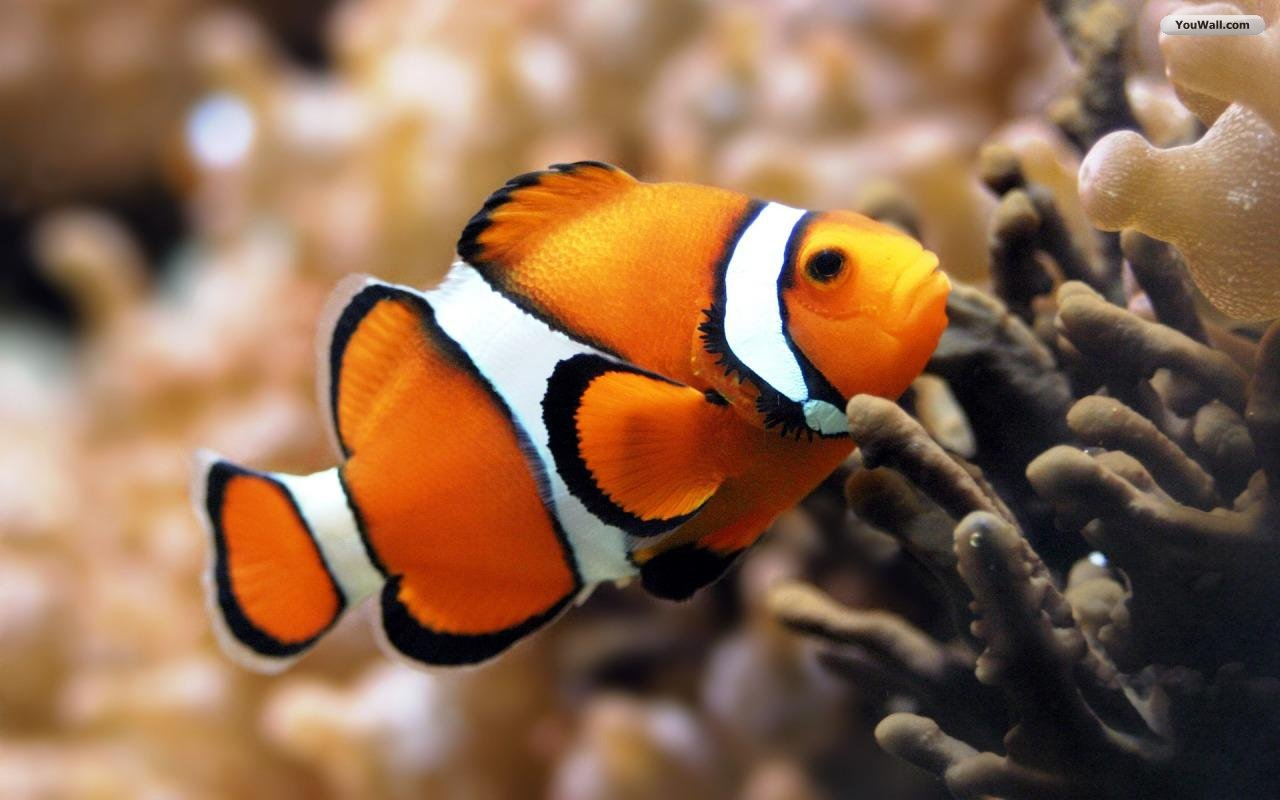 Clown fish wallpapers hd 10717 wallpaper cool for Cool fishing wallpapers