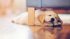 Cute Dog Sleep Wallpaper Desktop