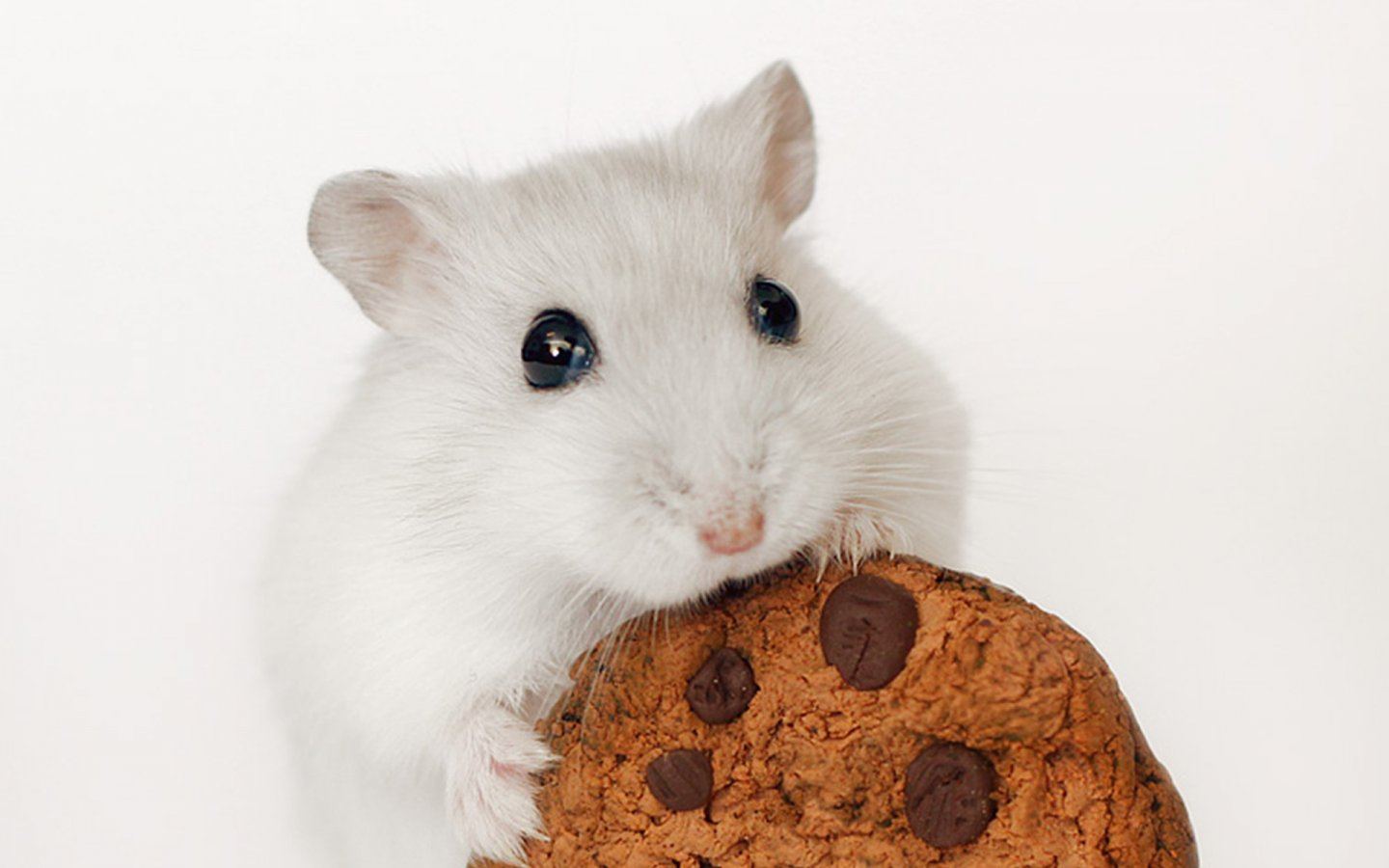 Cute Hamster Wallpaper Windows Download