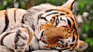 Cute Tiger Wallpaper Widescreen